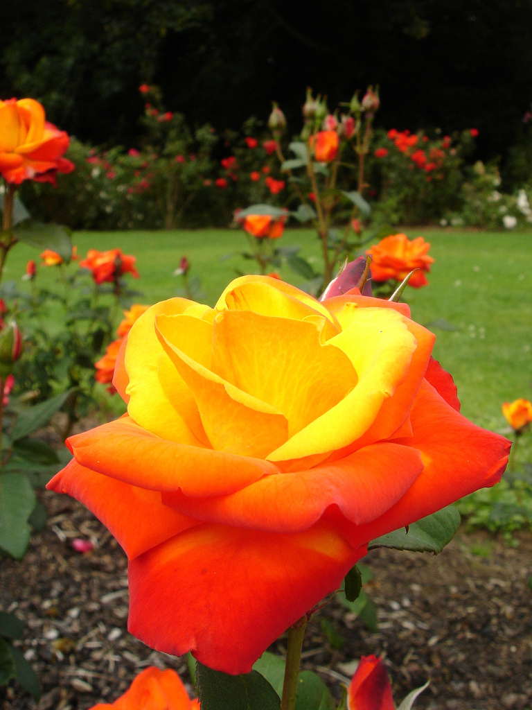 Roses In Garden: Garden Therapy: Roses Are Love