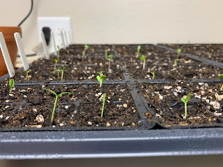 Half a tray of seedlings started inside with a wall and outlet behind