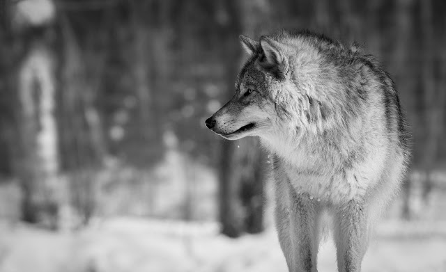 """Promocja """"Wilczki Rodowita"""" - pij wodę i odbierz pluszowego wilka za darmo"""