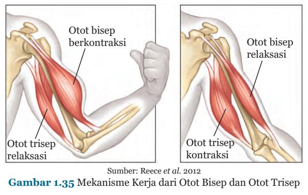 Gambar 1.35 Mekanisme Kerja dari Otot Bisep dan Otot Trisep