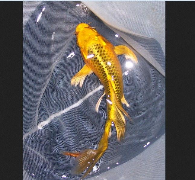 Ikan Hias Kumpai