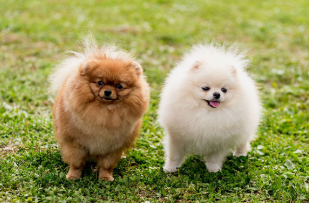 which is best dog breed for families, dog breeds for family, Pomeranian pure breed