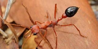 Semut adalah serangga berbahaya yang dapat menimbulkan penyakit mematikan