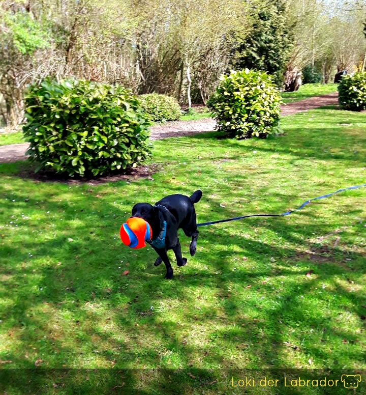 Labrador im Garten mit Ball