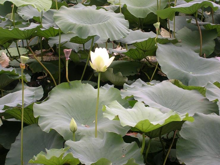 蓮池に咲く花5