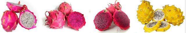 klasifikasi buah naga dan morfologi