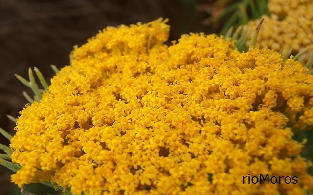 Flor de Himenolepis Hymenolepis parviflora