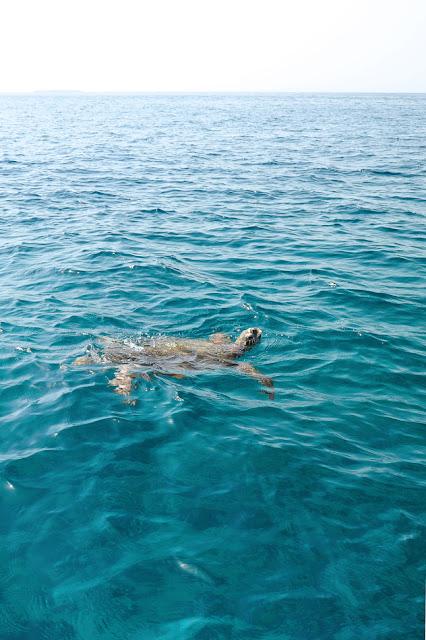 Best of Oman: sea turtle, Daymianiat islands, snorkeling