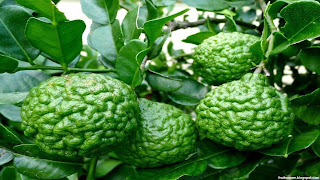 Kaffir lime fruit images wallpaper