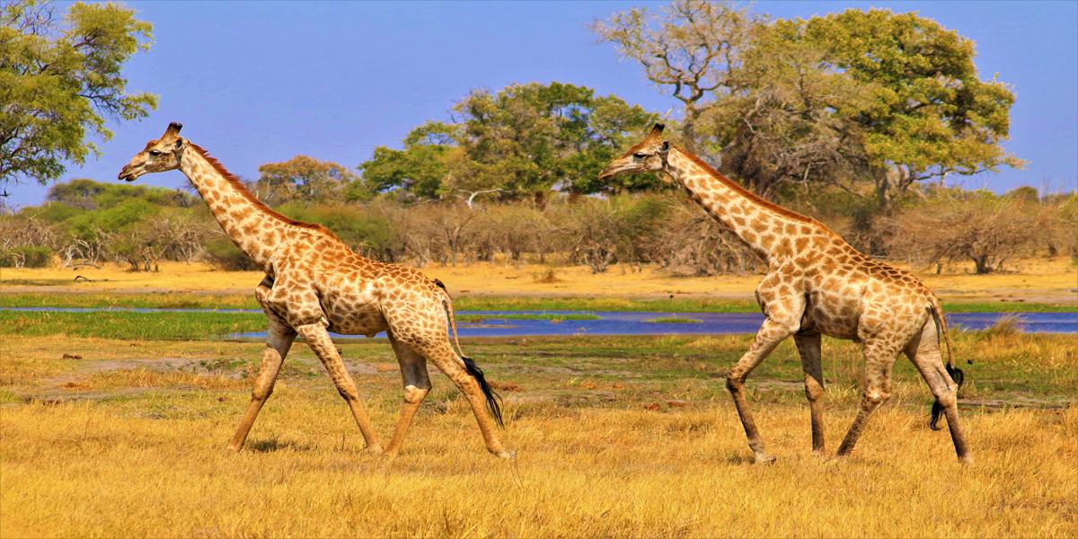 jirafas,biológicas,animal,evolutivas,científico