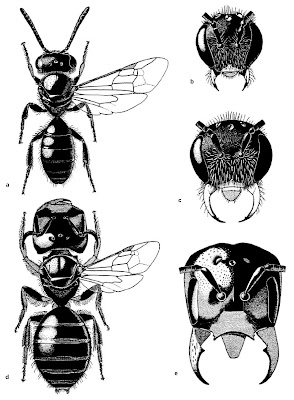 Male morphs of  Lasioglossum