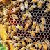 كيفية تحفيز ملكة النحل على وضع البيض