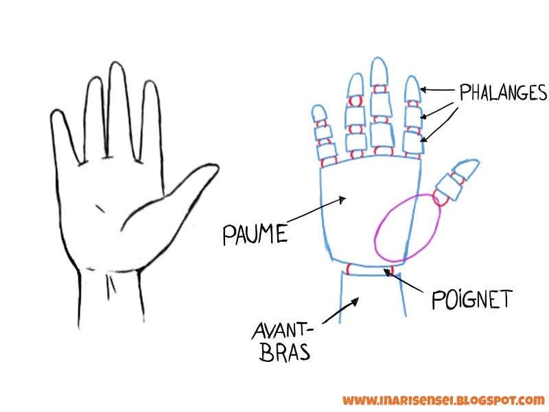 Les dfférentes parties composant la main