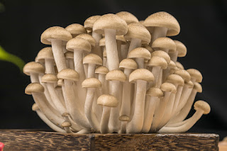 Cultivation of Edible mushrooms in Oman