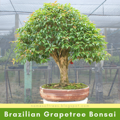 Brazilian Grapetree Bonsai