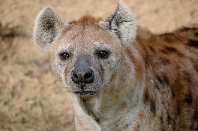 About Hyenas Animal. जरख ( Jarakh ) in hindi. Animals.