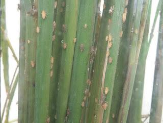 Gejala lengkap Serangan Hama Wereng Batang Coklat (Nilaparvata lugens Stal.)
