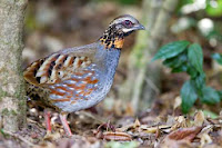 picture of Rufous-throated partridge (Arborophila rufogularis)