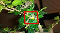 fukien tea bonsai yellow leaves