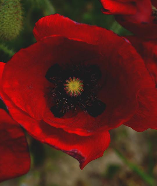 صورة خلفية ورده جميله حمراء اللون