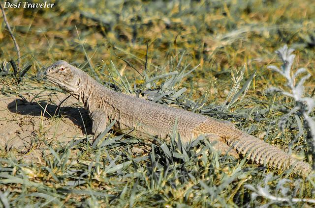 Spiny Tailed Lizard: Sanda desert Lizard outside burrow
