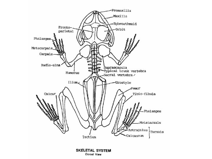Frog Skeletal System Diagram Real Wiring Diagram