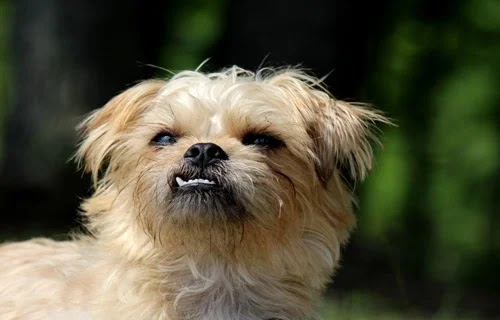 كل معلومات عن كلاب جريفون