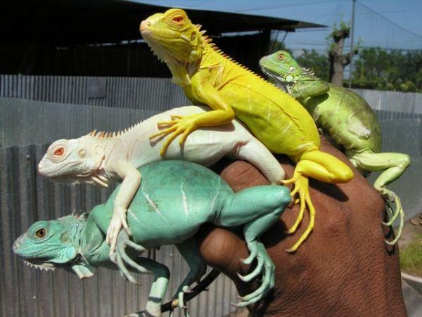 Iguanas de colores
