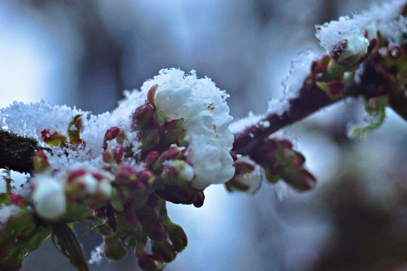 Bilder des Tages #60 — Schneeblüten oder Blütenschnee