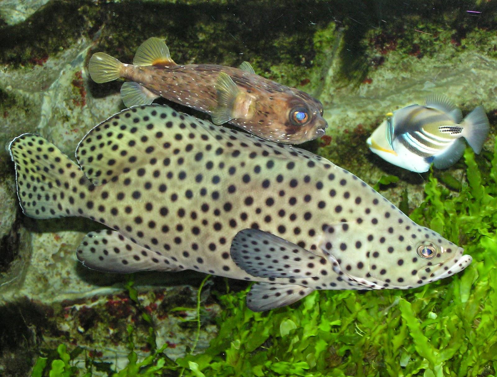 Jenis Jenis Ikan Kerapu Yang Paling Di Kenal Dunia Akuarium