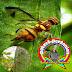 Pengendalian Lalat Buah Pada Tanaman Gambas