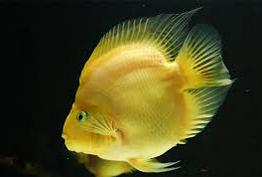 Jenis Ikan Hias Air Tawar Parrot