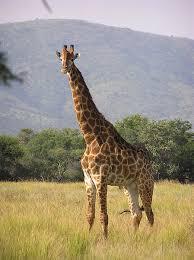 10 Lines on Giraffe in Hindi