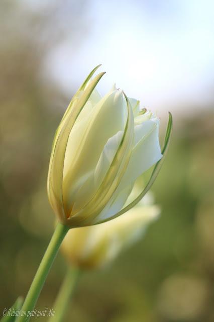 tulipe fosteriana exotic emperor