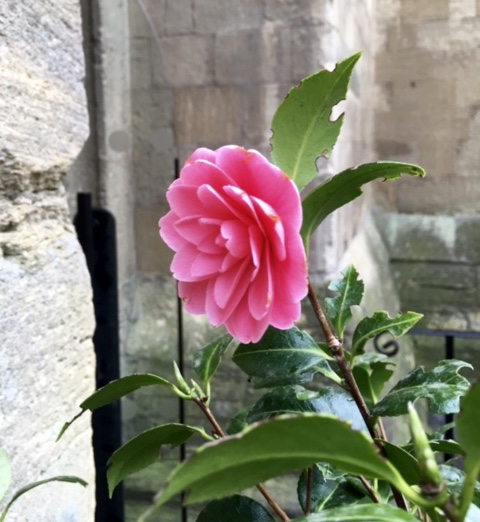 flower outside the crypt cafe, Vaults & garden cafe,Radcliffe Camera, Oxford