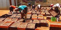 macadamia prices in kenya