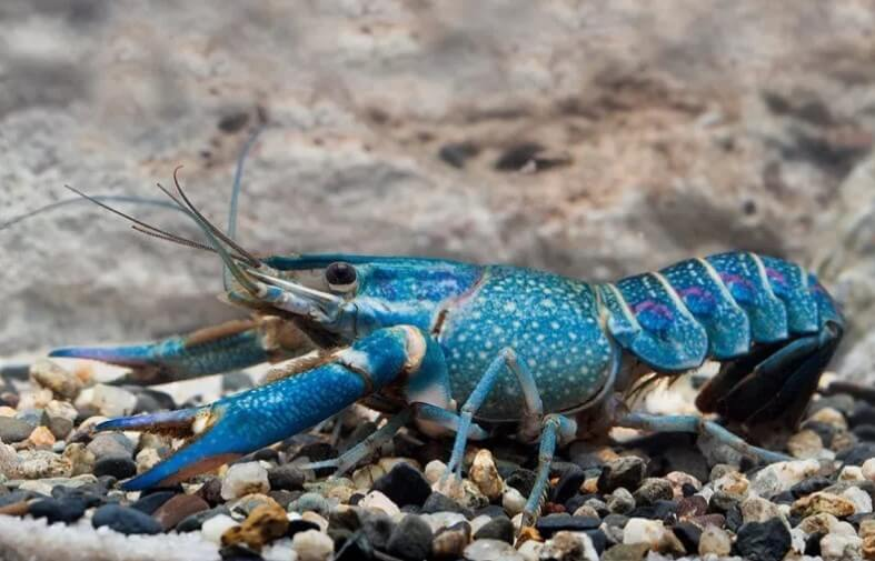 Pemilihan Induk Dan Tempat Tinggal Lobster Air Tawar Untuk Hobi Dan Pendapatan Sampingan Along Misuari