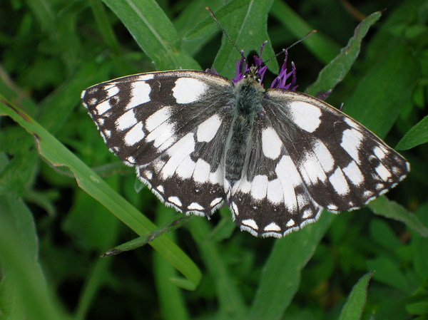 Marbled white butterfly. Photo copyright Mike Symes (Al Rights Reserved)