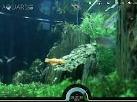 Dai da mangiare a pesci veri nell'acquario online reale