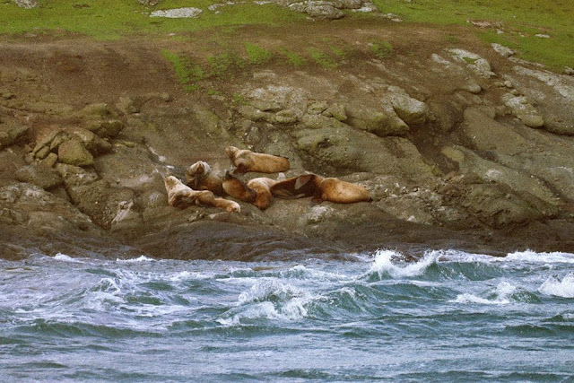 tiffany davidson, san juan islands, seafaring, maritime life, pacific northwest, photography, nature, beauty, washington state, california sea lions