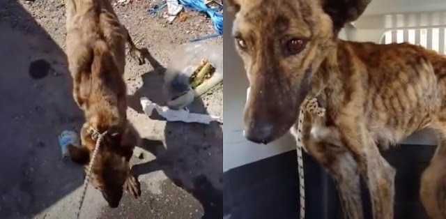 Чтобы сбежать от плохих хозяев, собака по кличке Лена, потратила последние силы