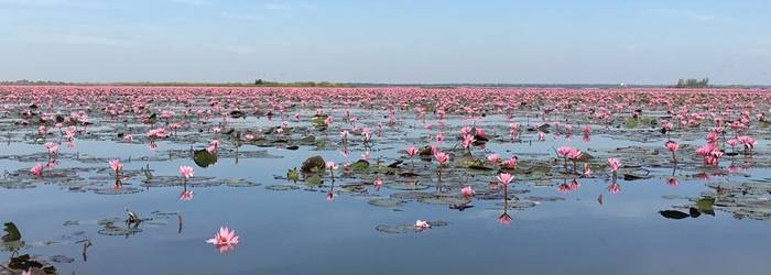 Float On A Lake Of Pink Lotus Flowers In Thailand