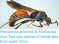 http://sciencythoughts.blogspot.co.uk/2016/12/promecidia-abnormis-promecidia-chui-two.html