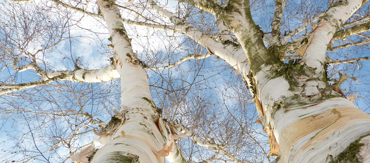 Medicinal birch tree for backyard landscape