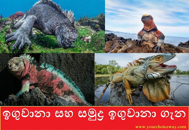ඉගුවානා සහ සමුද්ර ඉගුවානා ගැන (Iguanidae And The Marine Iguana) - Your Choice Way