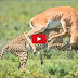 Real Animal fighting, ATTACKS Cheetah vs Crocodile, Lion, Wild Boar, Zebra, Gazelle