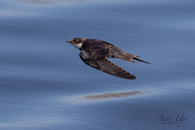 Swallow in fight Milnerton Lagoon