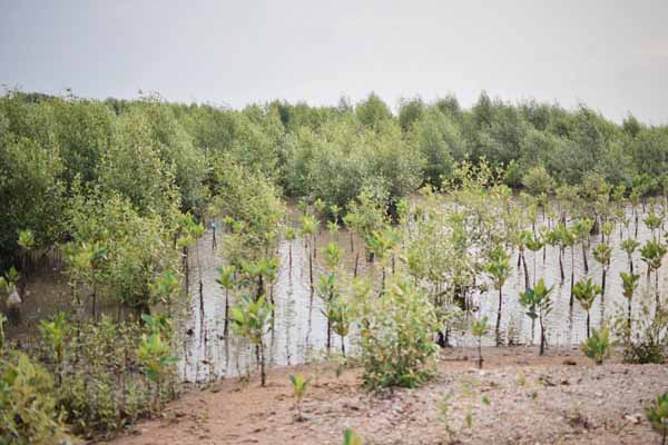 Hutan Mangrove Pasir Putih Karawang