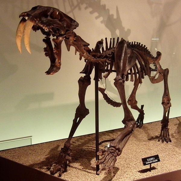 Life in the Cenozoic Era: Saber-toothed Cat (Smilodon fatalis)