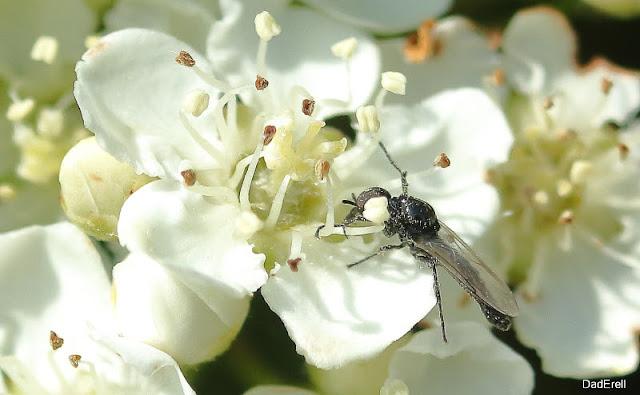 Syrphe butinant dans une fleur de cotonéaster